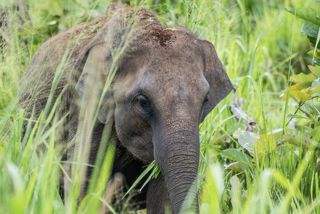 Elephant in Kaudulla National Park, Sri Lanka