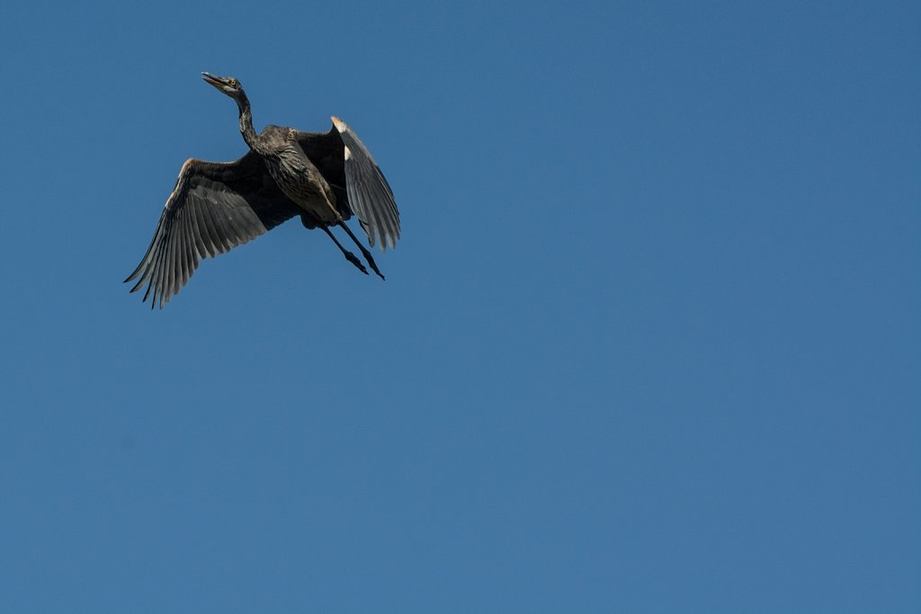 Heron in flight near Moosehead Lake in Maine