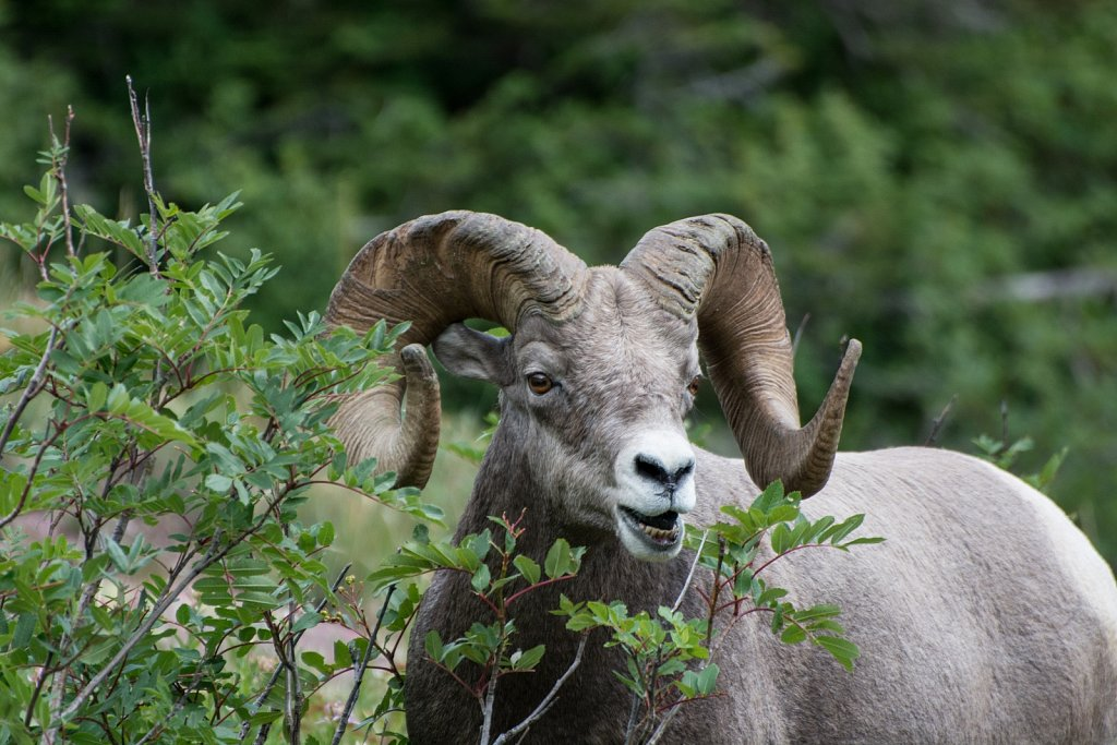 Bighorn Sheep at Glacier National Park