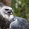 Harpy Eagle in Belize Zoo